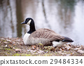 Canada goose bird 29484334