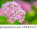 수국, 자양화, 꽃 29484372