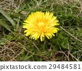 西洋蒲公英 花朵 花卉 29484581