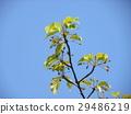 川角樱桃花 水果 棕色 29486219