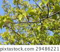 川角樱桃花 水果 棕色 29486221