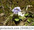 紫花堇菜 紫色 野草 29486224