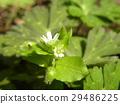 繁谧石竹科 花朵 花卉 29486225