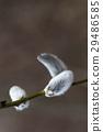 Fluffy catkins on a twig 29486585