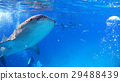Whale shark sea Nature wild underwater photograph 29488439