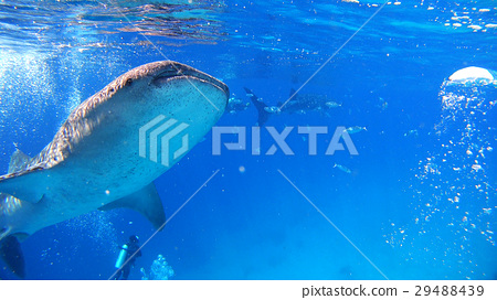 鯨鯊海自然野生水下照片 29488439