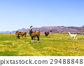 Flock of Llamas grazing at Coqueza Village 29488848