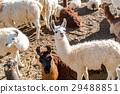Flock of Llama resting on the ground 29488851