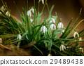 ดอกสโนวดร็อป,ดอกไม้,โรงงาน 29489438