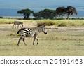 Zebra 29491463