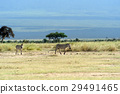 zebra, animal, savanna 29491465
