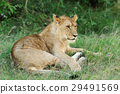 lion, animal, nature 29491569