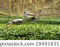 pelican, bird, beak 29491635