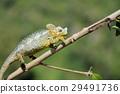 Chameleon 29491736
