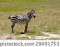 zebra wildlife animal 29491753