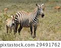 斑馬 野生生物 哺乳動物 29491762
