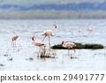 Flamingo 29491777