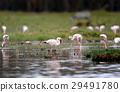 Flamingo 29491780