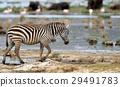 斑馬 野生生物 哺乳動物 29491783