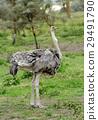 鴕鳥 野生生物 鳥兒 29491790
