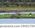斑馬 野生生物 動物 29491799