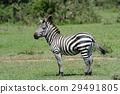 斑馬 野生生物 哺乳動物 29491805