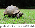African Spurred Tortoise in grass 29491966