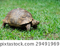 Turtle in grass 29491969