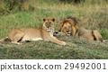 動物 獅子 野生生物 29492001