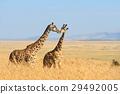 Giraffe in National park of Kenya 29492005