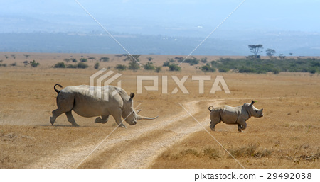 Rhino on savannah in Africa 29492038