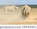 코뿔소, 야생, 동물 29492041