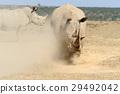 African white rhino 29492042