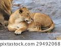 動物 獅子 非洲 29492068