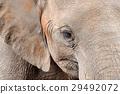 Elephant 29492072