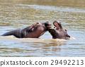 hippopotamus, wildlife, mouth 29492213