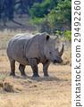 동물, 코뿔소, 포유 29492260