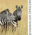 斑馬 動物 非洲 29492280