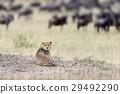 치타, 동물, 아프리카 29492290
