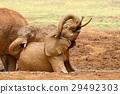 elephant, animal, nature 29492303
