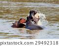 Hippo family. Kenya, Africa 29492318