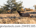 Rutting Bull Elk in Fall 29495385
