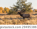 Rutting Bull Elk in Fall 29495386
