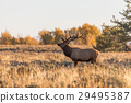 Rutting Bull Elk in Fall 29495387