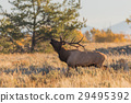 Rutting Bull Elk in Fall 29495392