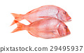 Snapper Fish Isolated 29495937