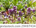 紫色死荨麻 唇形科象草 婆婆纳 29497434