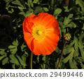 poppy, bloom, blossom 29499446