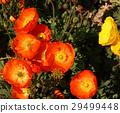 poppy, bloom, blossom 29499448