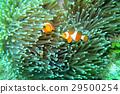 ดอกไม้ทะเล,ปลาการ์ตูน,มหาสมุทร 29500254